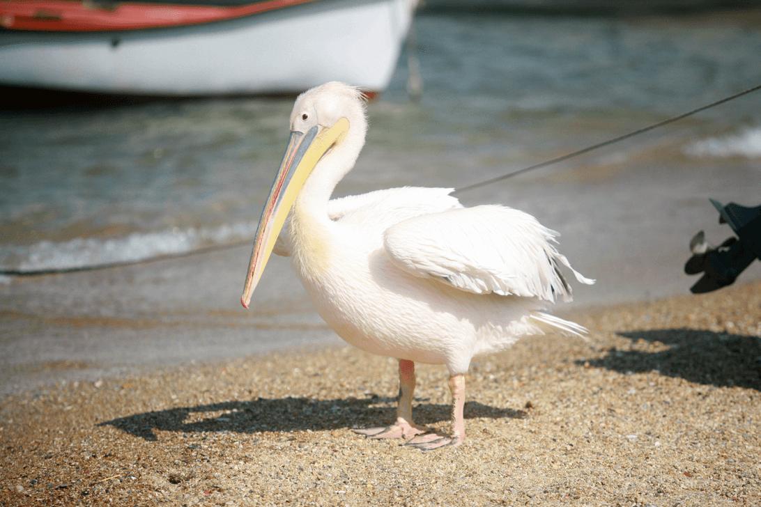 Petros Pelican