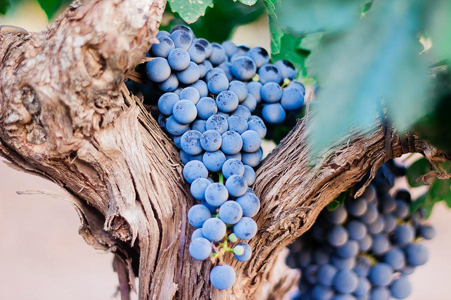 tuscany-wines-grapes
