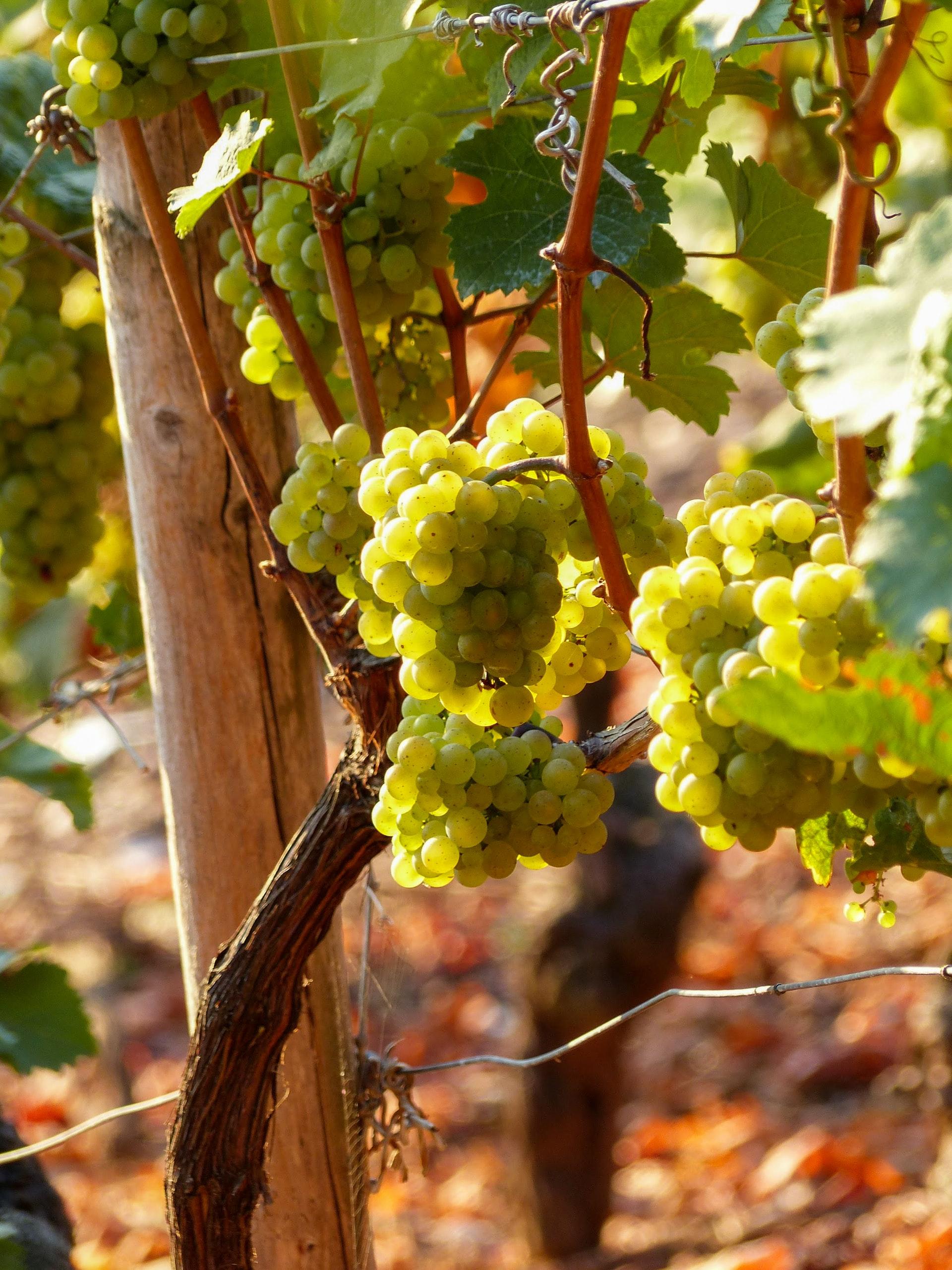 Tuscany Grape Varieties